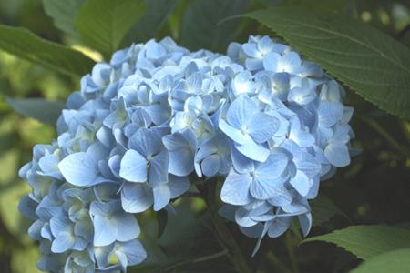 ajisai_03